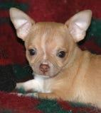 Chihuahuavalpar 22 Fotografering för Bildbyråer