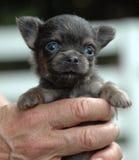 Chihuahuavalpar 155 Arkivfoton
