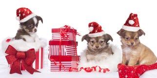 Chihuahuavalpar med den santa hatten Arkivbild