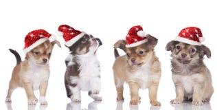 Chihuahuavalpar med den santa hatten Royaltyfria Foton