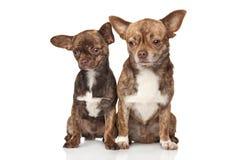 Chihuahuavalpar på vit bakgrund Royaltyfri Foto