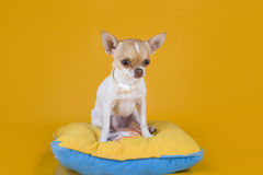 Chihuahuavalpsammanträde på en gul kudde isolerade bakgrund Royaltyfria Foton