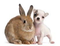 Chihuahuawelpe, 10 Wochen alt und Kaninchen Stockfoto