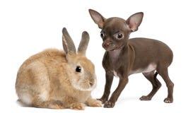 Chihuahuawelpe, 10 Wochen alt und Kaninchen Lizenzfreie Stockbilder