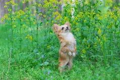 Chihuahuawelpe Stockbild