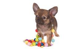 Chihuahuawelpe Lizenzfreie Stockfotografie
