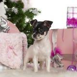 Chihuahuawelpe, 3 Monate alte, mit Weihnachten Stockfotografie