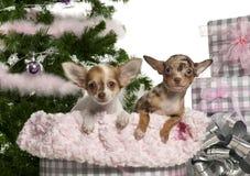 Chihuahuawelpe, 4 Monate alte, mit Weihnachten Lizenzfreie Stockfotografie