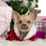 Chihuahuawelpe, 5 Monate alte, mit Weihnachten Lizenzfreie Stockbilder