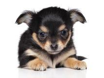 Chihuahuawelpe auf weißem Hintergrund Stockfotos