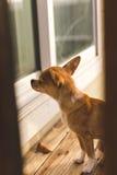 Chihuahuawelpe, der außerhalb einer Tür auf einer hölzernen Plattform wartet Lizenzfreies Stockbild