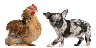 Chihuahuawelpe, der auf eine Henne einwirkt Stockfotografie