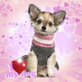 Chihuahuawelpe, der auf Herzhintergrund sitzt stockfoto