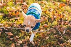 Chihuahuawelpe, der draußen einen Stock trägt Stockfotografie