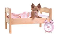 Chihuahuawelpe, der in einem Bett mit Alarmuhr liegt Lizenzfreie Stockbilder