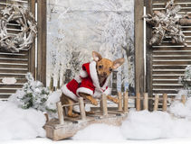Chihuahuawelpe, der einen Weihnachtsanzug in einer Winterlandschaft trägt Stockfotos