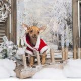 Chihuahuawelpe, der einen Weihnachtsanzug in einer Winterlandschaft trägt Stockbilder