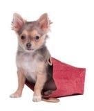 Chihuahuawelpe, der im Geschenkbeutel sitzt Stockbilder