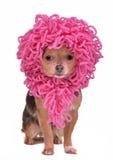 Chihuahuawelpe, der lustige rosafarbene Perücke trägt Stockbild