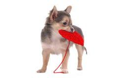 Chihuahuawelpe, der rotes Inneres anhält Lizenzfreies Stockbild