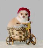 Chihuahuawelpe in einem gestrickten gestreiften Hut auf einem Fahrrad stockbild