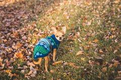 Chihuahuawelpe in einem Rasen mit Blättern auf ihm Lizenzfreie Stockfotos