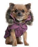 Chihuahuawelpe gekleidet im purpurroten mit Kapuze Mantel Stockfoto