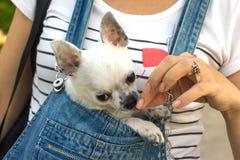 Chihuahuawelpe im Busenmädchen stockbild