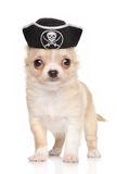 Chihuahuawelpe im Piratenhut Lizenzfreies Stockfoto