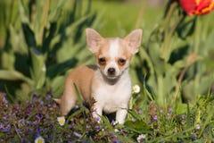 Chihuahuawelpe mit Blumen Stockbild