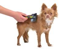Chihuahuawelpe wird mit einem Pinsel gekämmt lizenzfreies stockfoto