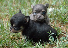 Chihuahuawelpen 158 Lizenzfreies Stockbild