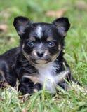 Chihuahuawelpen 198 Stockfoto