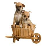 Chihuahuawelpen innerhalb des hölzernen Wagens Stockbilder