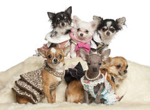 Chihuahuawelpen und -erwachsene im Kleidungssitzen lizenzfreie stockbilder