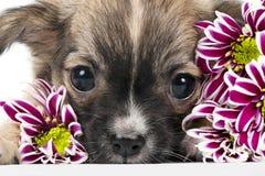 Chihuahuawelpenportrait mit den rosafarbenen Blumen Makro Lizenzfreie Stockbilder