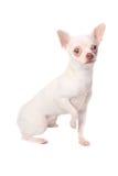 chihuahuawhite Royaltyfri Foto