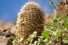 Chihuahuawoestijn cactus-1 stock fotografie