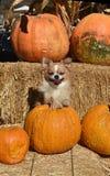 Chihuahuhua di autunno Immagine Stock