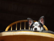 Chihuaua. A small pedigree chihuahua dog with big ears stock photo