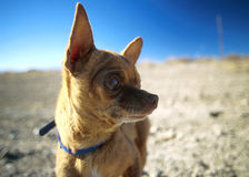 Chihuaua in Desert Stock Photos