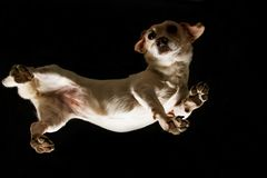 A chihuaua dog looking down curiously through A glass. A dog looking down curiously through A glass Royalty Free Stock Images