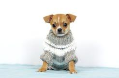 Chihuhua no vestido Imagens de Stock Royalty Free
