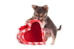 Chihuhua playing with a heart shaped red box Stock Images