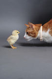 Chik and cat. Golden chick and a cat standing face to face Stock Image