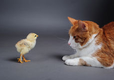 Chik and cat Stock Photos