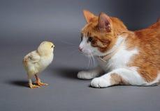Chik en kat Royalty-vrije Stock Foto