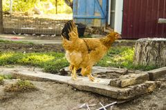 Chiken在村庄 免版税库存照片