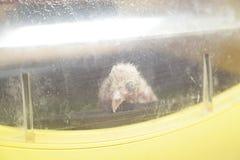 Chiken à l'intérieur d'un incubateur image libre de droits