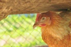 Chiken Royalty-vrije Stock Foto's